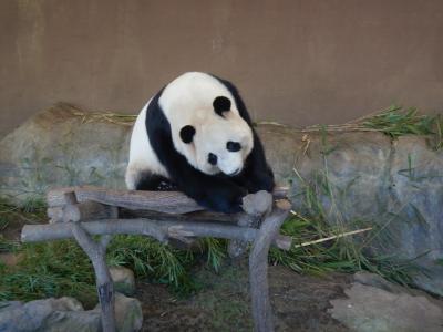 パンダ見たい放題!南紀白浜のアドベンチャー ワールドへ