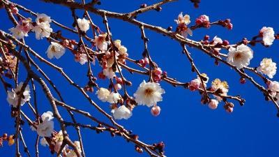 伊丹市荻野と東野地区に咲く桜と蝋梅の見学 その2。