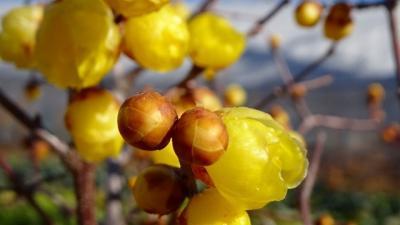 伊丹市荻野と東野地区に咲く桜と蝋梅の見学 その3。