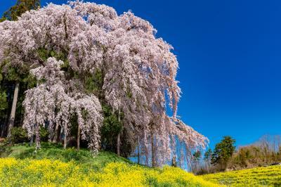 土湯/岳/二本松ぐるり旅【1】~合戦の地に咲くしだれ桜~合戦場のしだれ桜&中島の地蔵桜