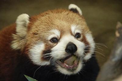 九十九島動植物園森きらら&長崎バイオパーク 今年こそコロナに打ち勝ちたい!! 2021年のレッサーパンダ紀行は長崎の2園からスタートです!!