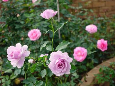 Chiang Mai生活141(1月)Royal Rose Garden, Carp Cafeなど