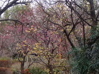 樹齢2100年の霊樹を訪ね、初春の花々を愛でるーー