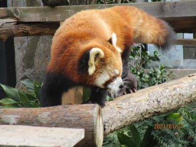 横浜の新春・伊勢山動物園と伊勢山皇大神宮