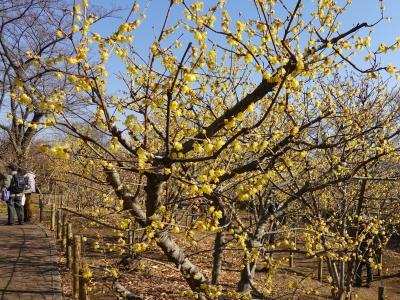 蝋梅の香りを求めて(府中郷土の森)