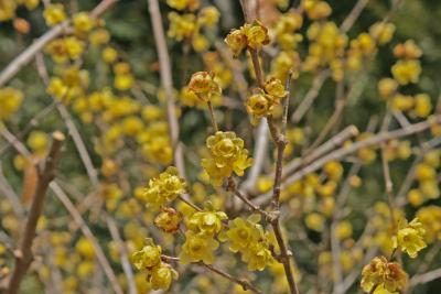 静岡 洞慶院の蝋梅