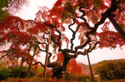 異界の紅葉 いわき「中釜戸の枝垂れモミジ」「金澤翔子美術館」&ときわの宿「浜とく」
