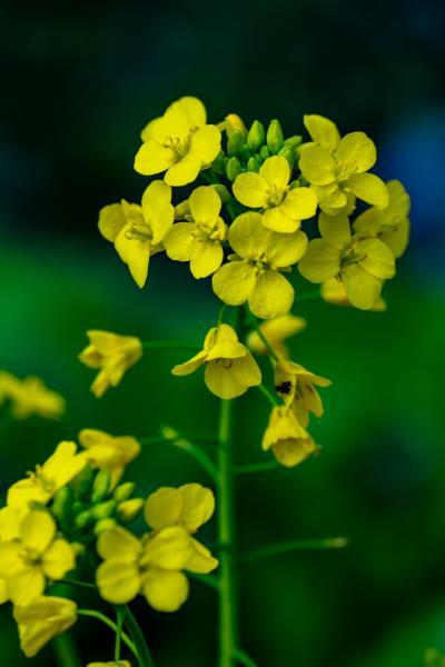 風土記の丘の菜の花
