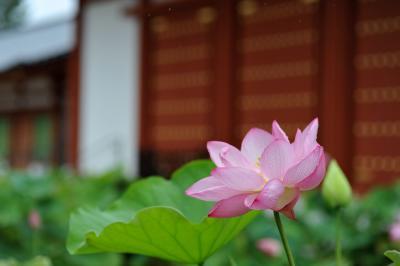 蓮の花咲く青紅葉の奈良~ロータスロード、雨の明日香村、吉野山の青紅葉~