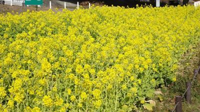 武庫川の河川敷で菜の花が見頃だと、新聞に出ていたので、出かけました その1。