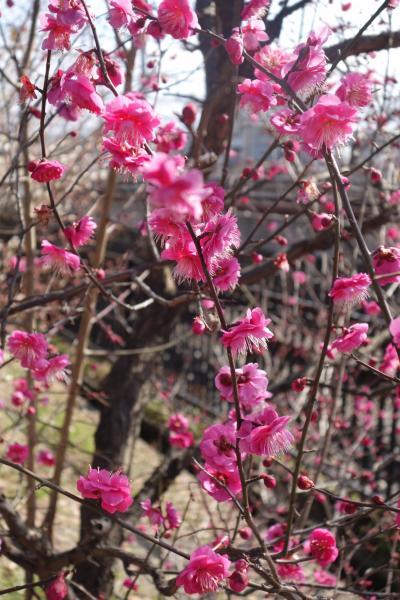 20210202-2 京都 梅小路公園には、思ってたより梅の花。見頃も近いかも。
