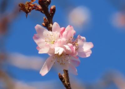 久し振りに冬桜を見に行きました