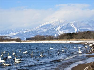 (作成中)2021年栃木県にも緊急事態宣言が出ていますが、雪の中猪苗代湖の白鳥に会いに行きました。