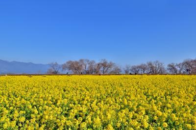 2021春の先取りのような守山の冬の湖岸の風物詩 冬に咲く(寒咲花菜)