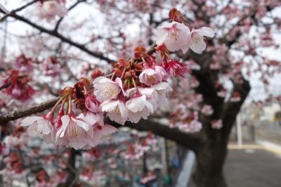 20210207-20210213 京都 梅が咲いたり、桜が咲いたり、暖かい日があったり