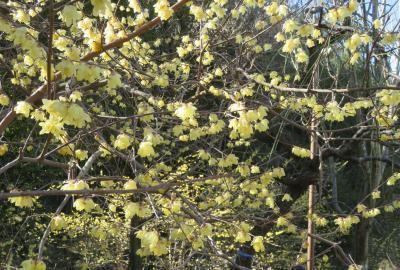 2021早春、名古屋市農業センター(2/2):枝垂れ梅、キジバト、クリスマスローズ、サザンカ、椿、白木蓮