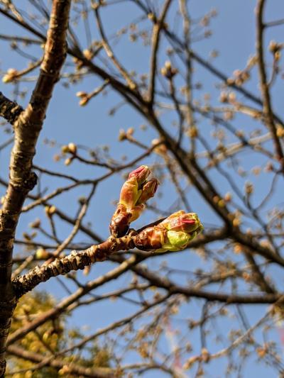 春間近!連日の陽気に桜も勘違い寸前!