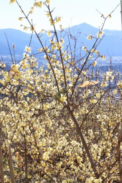 車デビューの3年ぶりの秩父宝登山ロウバイ詣(後編)ロウバイ絶好日和に見頃になった新しい「四季の丘」となつかしの西ろうばい園を絶景と共に