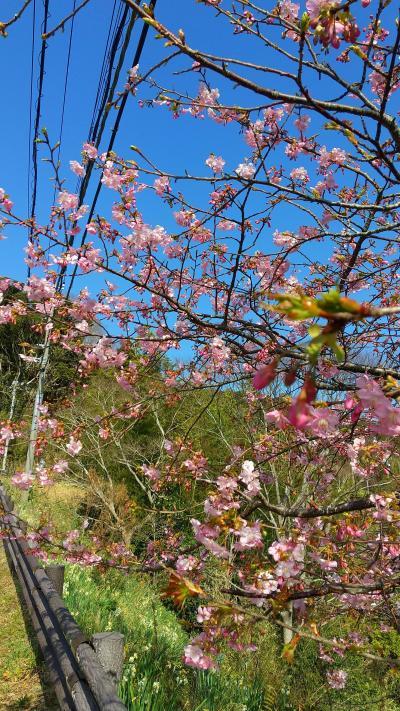 南房総で義経桜(河津桜)が開花したと報道があり行って来ました。