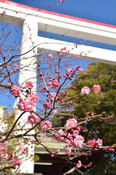 アジフライ定食の旅⑬ 単発  鎌倉市 仲の坂   と、少し早かった梅のお花見など