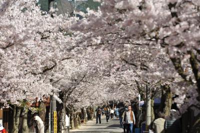 満開のがいせん桜に勝山のれんの町並み、神庭の滝へドライブ一日旅
