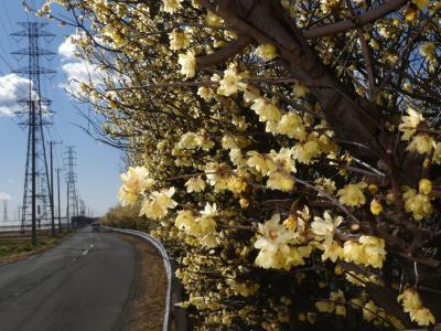 「ロウバイの岸辺」のロウバイ_2021_綺麗に咲き揃っていました(群馬県・伊勢崎市)