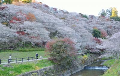 川見四季桜の里(豊田市)に遊ぶ