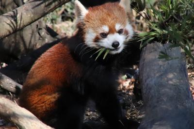 陽気な冬の土日に続けて訪れた埼玉こども動物自然公園(2)レッサーパンダ屋外姉妹・室内双子兄弟&キリンからなかよしコーナーまで回れた日曜の北園