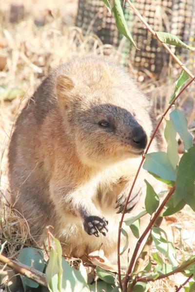陽気な冬の土日に続けて訪れた埼玉こども動物自然公園(3)コアラもクオッカもゆっくり観覧&シカとカモシカの谷まで回れた日曜の東園と中央エリア