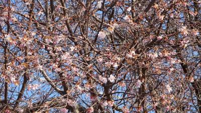 暖かい日和に誘われて、梅と桜の花を探して散歩しました その4。