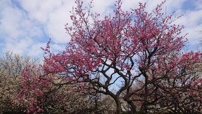 油面公園(観梅),世田谷公園お散歩2021年2月