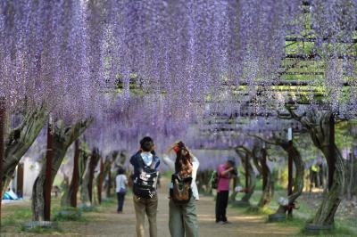 個人的には日本一~和気町の「藤」