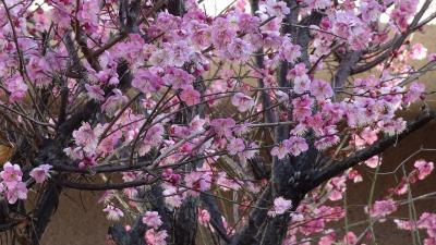 笹原公園の河津桜が咲き始めたと思い出かけました その1。