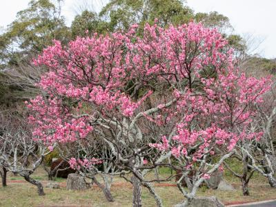 2021年2月 山口県・防府市 その1 防府天満宮に梅を見に行きましたが、まだ少ししか咲いていなかったです。