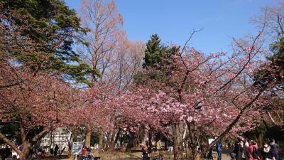 河津桜が咲き始めた林試の森公園、円融寺お散歩2021年2月