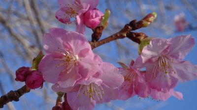 笹原公園の河津桜が咲き始めたと思い出かけました その3。