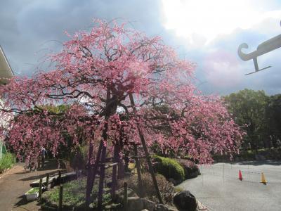 公園の梅の花がきれいでした