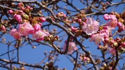 笹原公園の河津桜が咲き始めたと思い出かけました その5。
