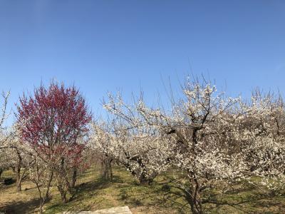 曽我梅林で梅のお花見