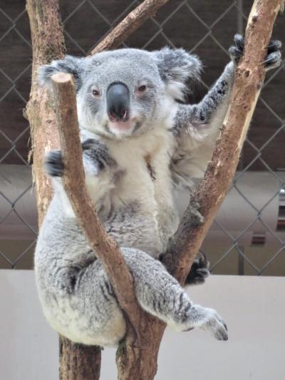 埼玉こども動物自然公園【ビーくん哀悼】~レッサーパンダとコアラとクオッカを重点に双子バトルや湯カピバラなどシャッターチャンスたっぷり