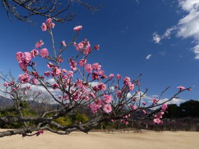 「桐生南公園」のウメ_2021_だいぶ咲き始めています(群馬県・桐生市)