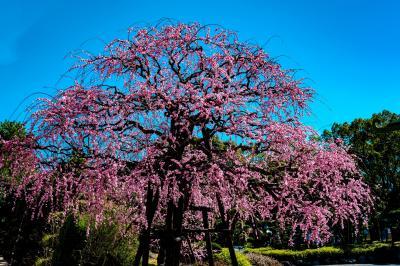 南立石公園の枝垂れ梅と河津桜 2021