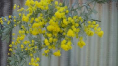 ミモザの花を探して街中を徘徊 2日目の午前中 上巻。