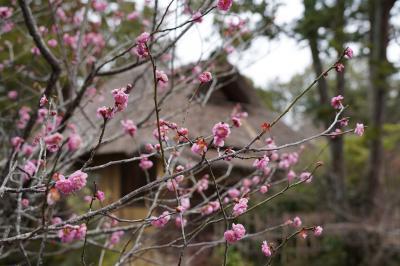 20210219-1 京都 梅宮大社の梅はどないやろね?まだ早いかもですが、観に行ってくるか…