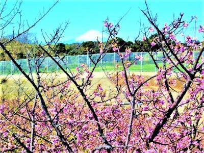 <三浦海岸の河津桜>と<野比海岸の水仙/眺望;東京湾の入り口>