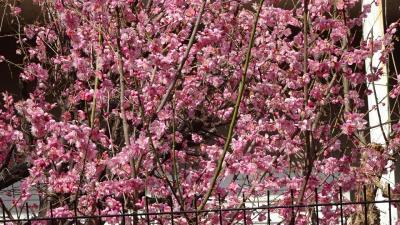 ミモザの花を探して街中を徘徊 2日目の午後編 その3。