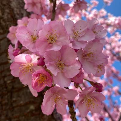 満開の河津桜を求めて 松田山西平畑公園と あぐりパーク嵯峨山苑