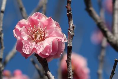 高速バスで甲府へ(1)連歌発祥の地・酒折宮を参拝して、不老園で梅を愛でる