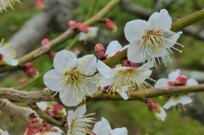 今年も頑張って咲く樹齢約500年の兜梅を見に行きます@所用の手伝いに呼ばれ天草へ【4】