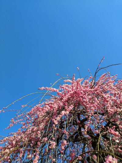 2021年2月・春はもうすぐ!大倉山公園の梅&元住吉・江川せせらぎ遊歩道の河津桜